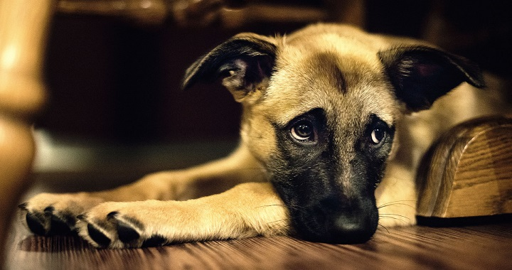 perro-solo-en-casa
